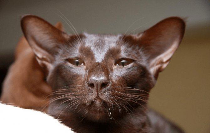 Описание яванской кошки согласно стандарту породы с фото, особенности содержания яванеза