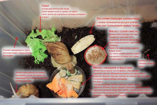 Улитки аквариумные — большие, маленькие: уход, содержание, размножение, отзывы. чем кормить улиток ахатин в домашних условиях?