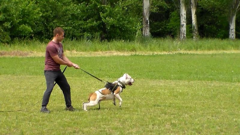 Дрессировка и воспитание щенка стаффордширского бультерьера по месяцам