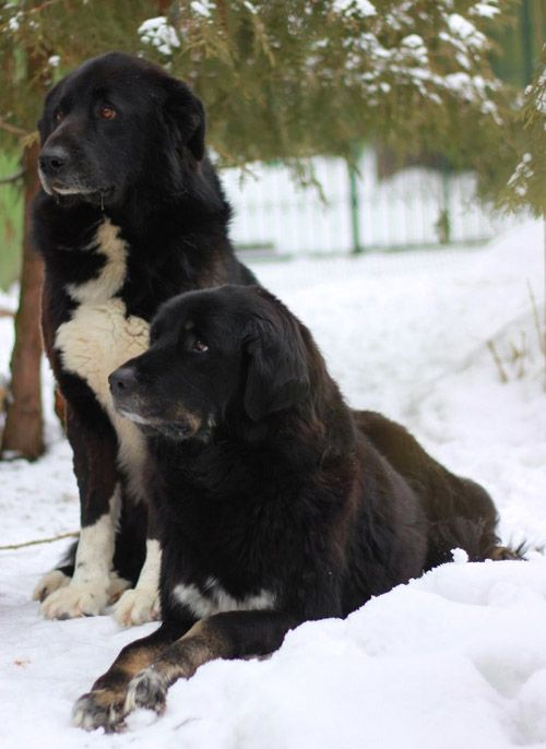 Немецкая овчарка: (100 фото собаки), характер, правила дрессировки, описание болезней собаки, цена щенка