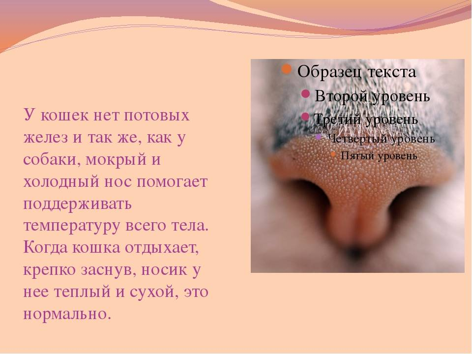 Сухой нос у кота: что делать и в чем причина, как определить здоровый и больной нос у кота