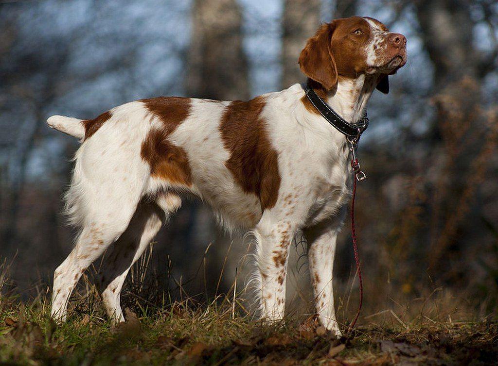 20 популярных собак охотничьих пород: описание, характер, особенности