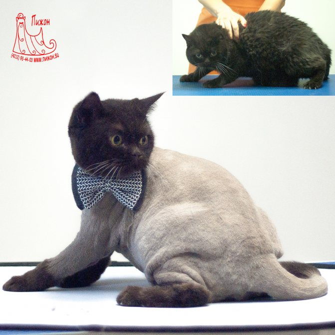 Стрижка кошек и котов, особенности проведения процедуры - кошовед - сайт любителей кошек и котов