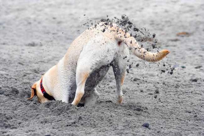 Роет собака. почему и как отучить? топ-10 основных причин, зачем собаки роют ямы во дворе (мнение кинолога)