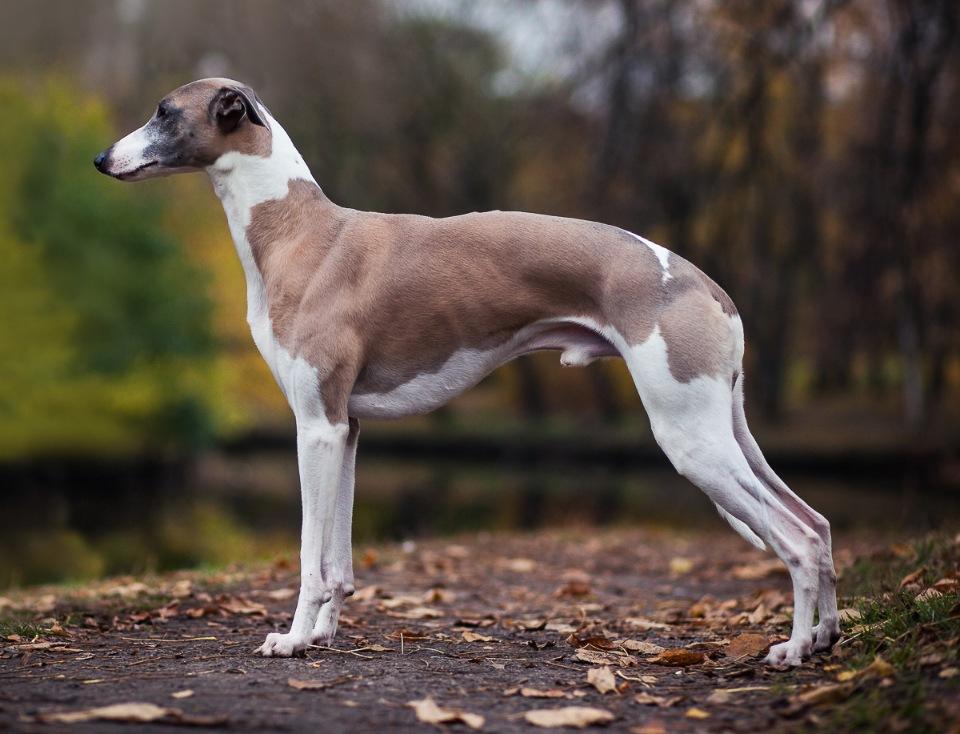 Характеристика собак породы уиппет с отзывами и фото