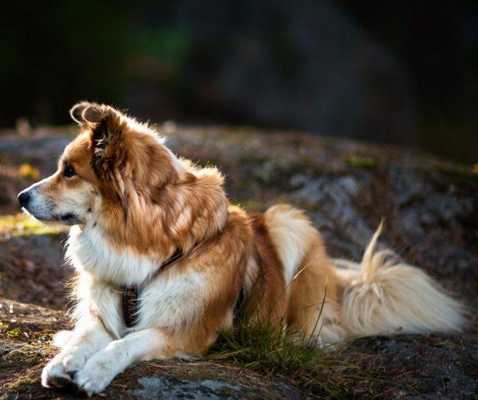 Исландская собака (27 фото): описание исландской овчарки, содержание щенков и уход за ними
