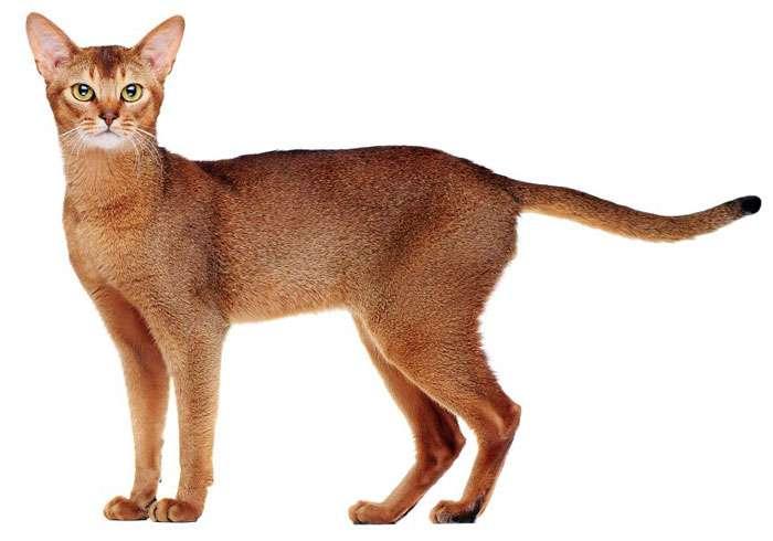 Чаузи: описание породы кошек, фото и видео материалы, отзывы о породе