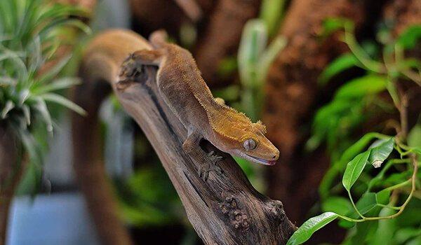 Реснитчатые бананоеды (rhacodactylus ciliatus)