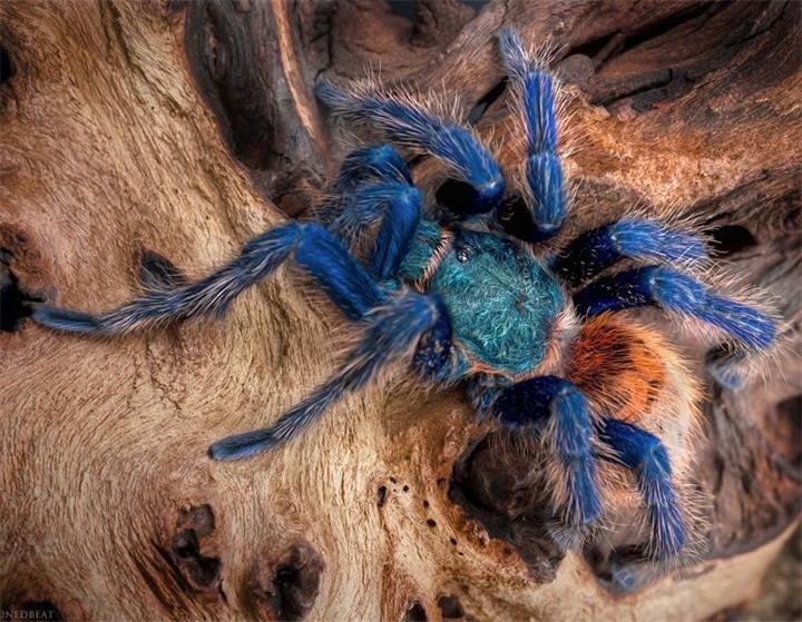 Домашний паук-птицеед: особенности ухода и содержания