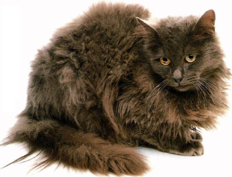 Австралийская тиффани (порода кошек австралийская тиффани, длинношерстная бурмилла) — (история породы, фото, характер, содержание и уход, выбор котенка, видеоотчет о породе, выбор имени для котенка, к