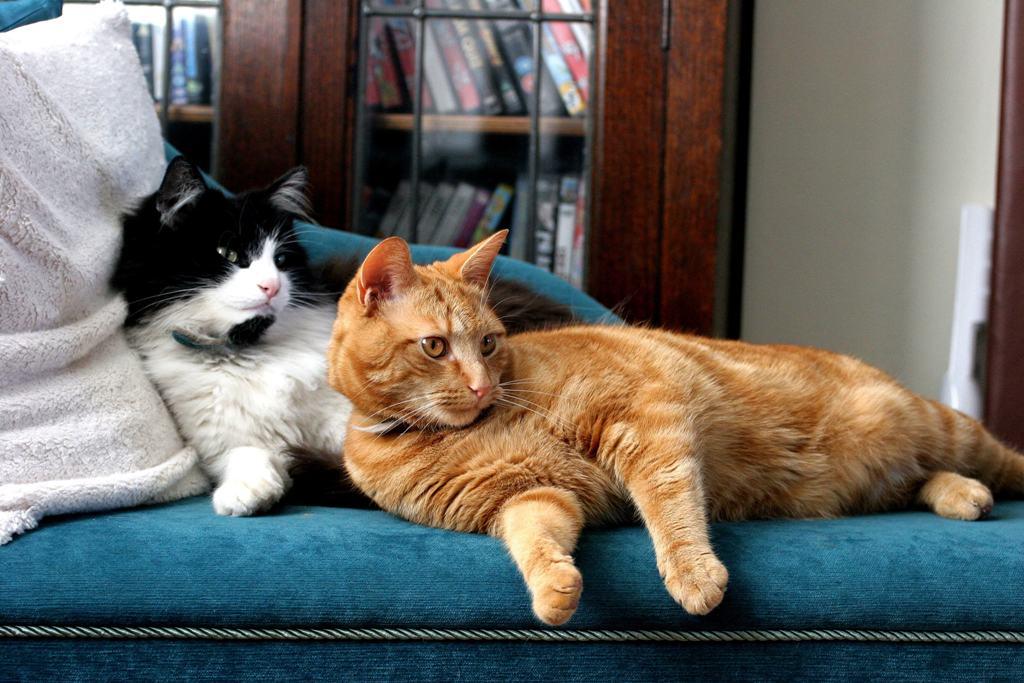 Вязка котов и кошек: как подготовиться и выбрать лучшее время- советы +видео