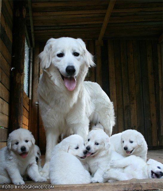 Словацкий чувач (кувач): фото породы собак, описание характера