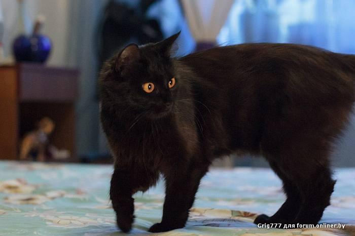 Шантильи тиффани: описание породы, фото кошки, цена