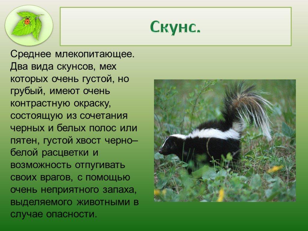 Куница животное. описание, особенности, виды, образ жизни и среда обитания куницы | живность.ру