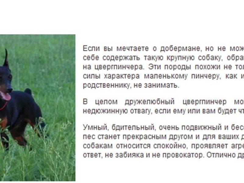 Цвергпинчер собака. описание, особенности, уход и цена цвергпинчера