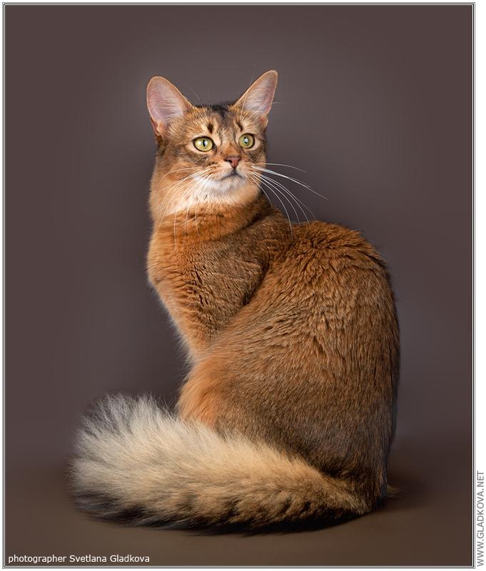 Мейн кун (150 фото породы кошек): история породы, цена котенка, стандарты, интересные факты о характере и содержании