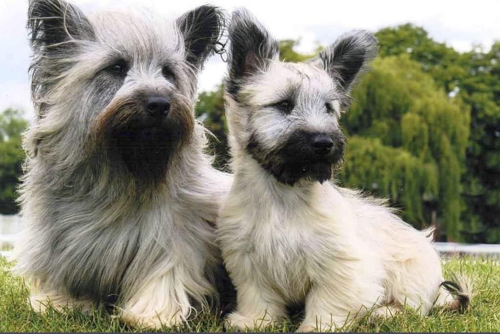 Скай терьер: описание породы, фото, стрижка, щенки