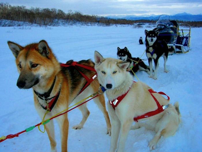 Ездовые собаки (32 фото): обзор северных и чукотских, камчатских, сибирских и других ездовых пород собак. как их обучают и дрессируют?