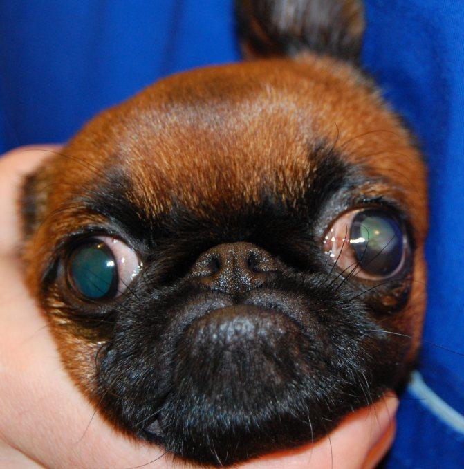 Порода собаки у которой от испуга выпадают глаза