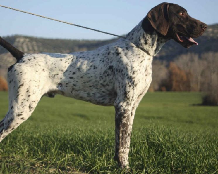 Английский пойнтер собака. описание, особенности, уход и цена английского пойнтера