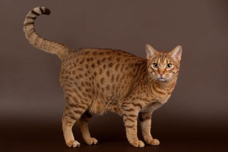 Кошка оцикет: характер, стандарт породы, описание и фото