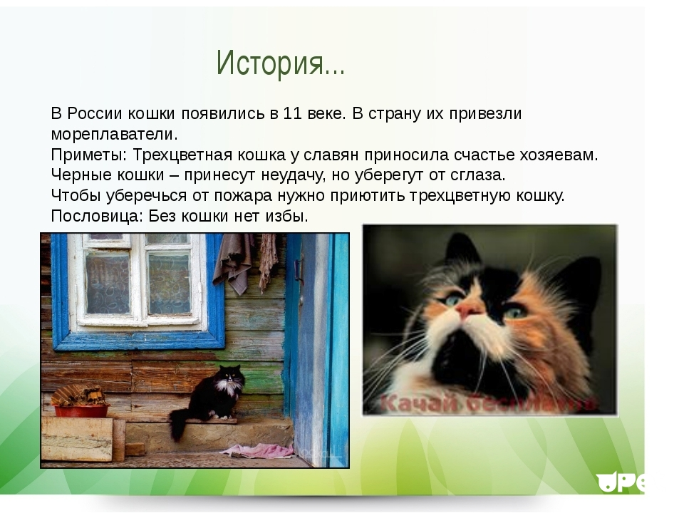 Приносят ли счастье трехцветные кошки