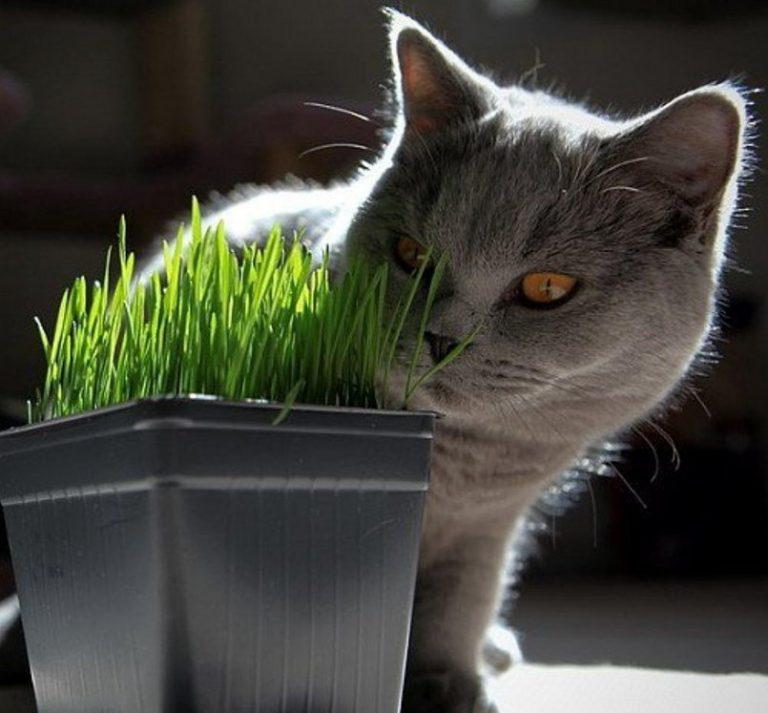 Какую траву едят кошки?