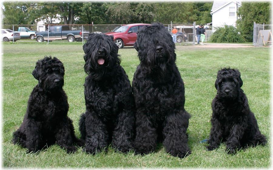 Русский черный терьер или «собака сталина»: фото и описание породы