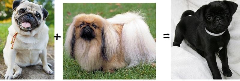 Описание мопса и породы собак, похожих на мопса