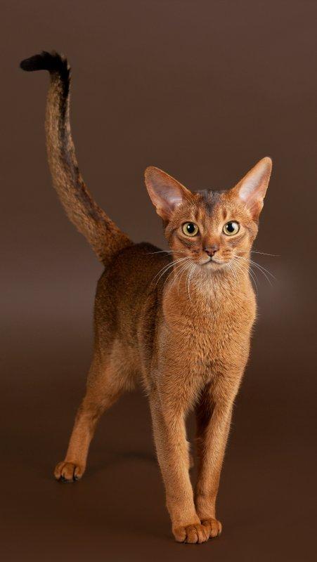 Самые редкие породы кошек и котов