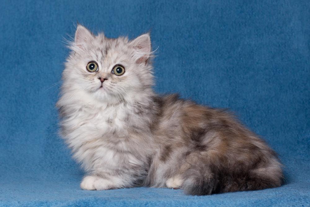 Наполеон – описание породы кошки: фото, характер, размер, уход, цена в каталоге на официальном сайте корма бош