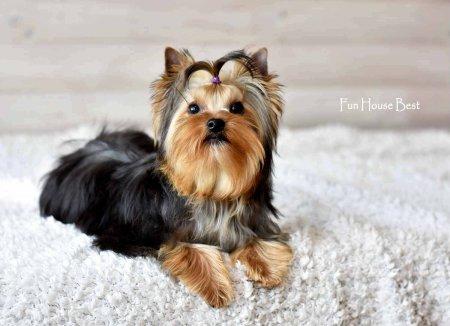 Беби-фейс йоркширских терьеров (22 фото): плюсы и минусы беби-фейса у взрослых собак. сравнение со стандартом породы. как выбрать щенка мини-беби-фейс?