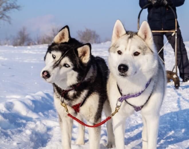 Породы собак для ездового спорта