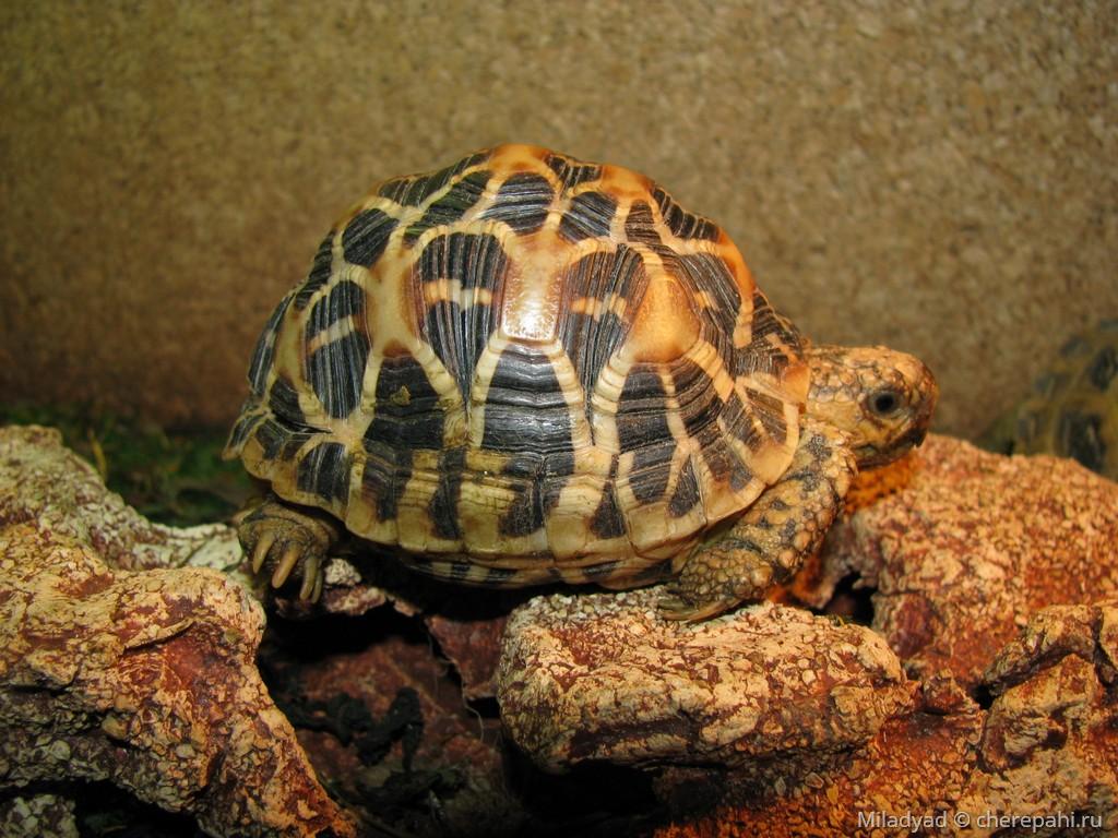 Слоновая черепаха: как выглядит, где обитаем, чем питается и интересные факты (фото)