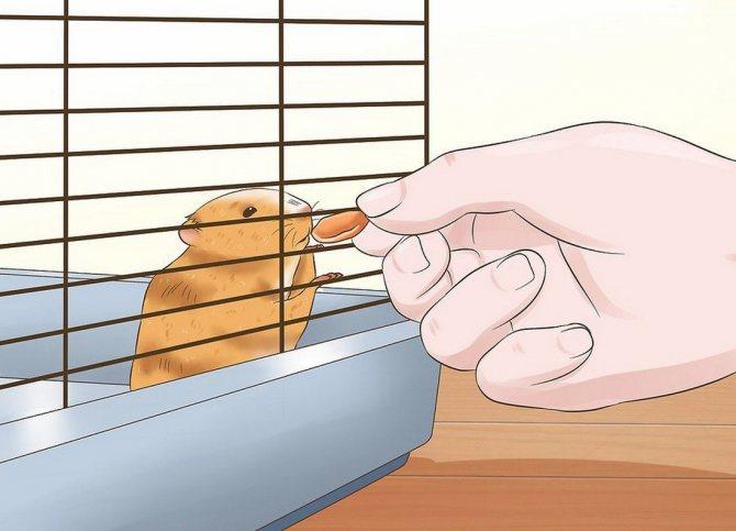 Как приучить хомяка к рукам: можно брать, что делать, если питомец боится