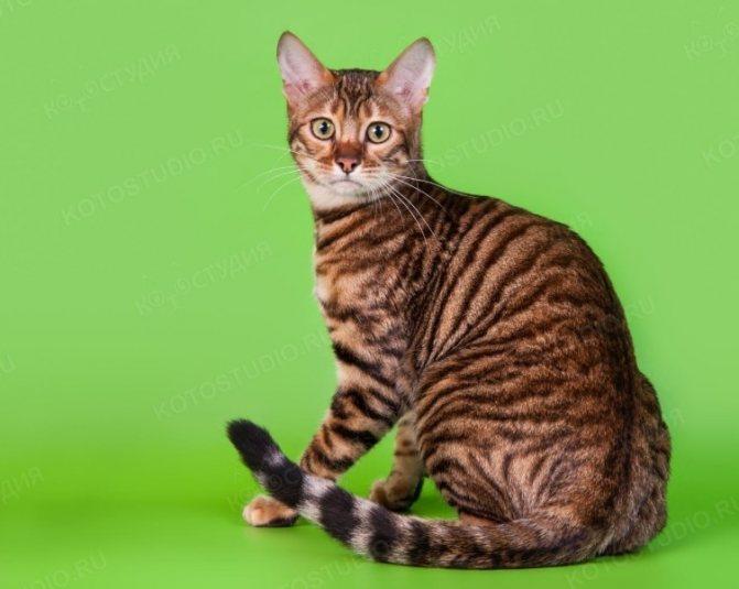 Тойгер: содержание необычной кошки в домашних условиях