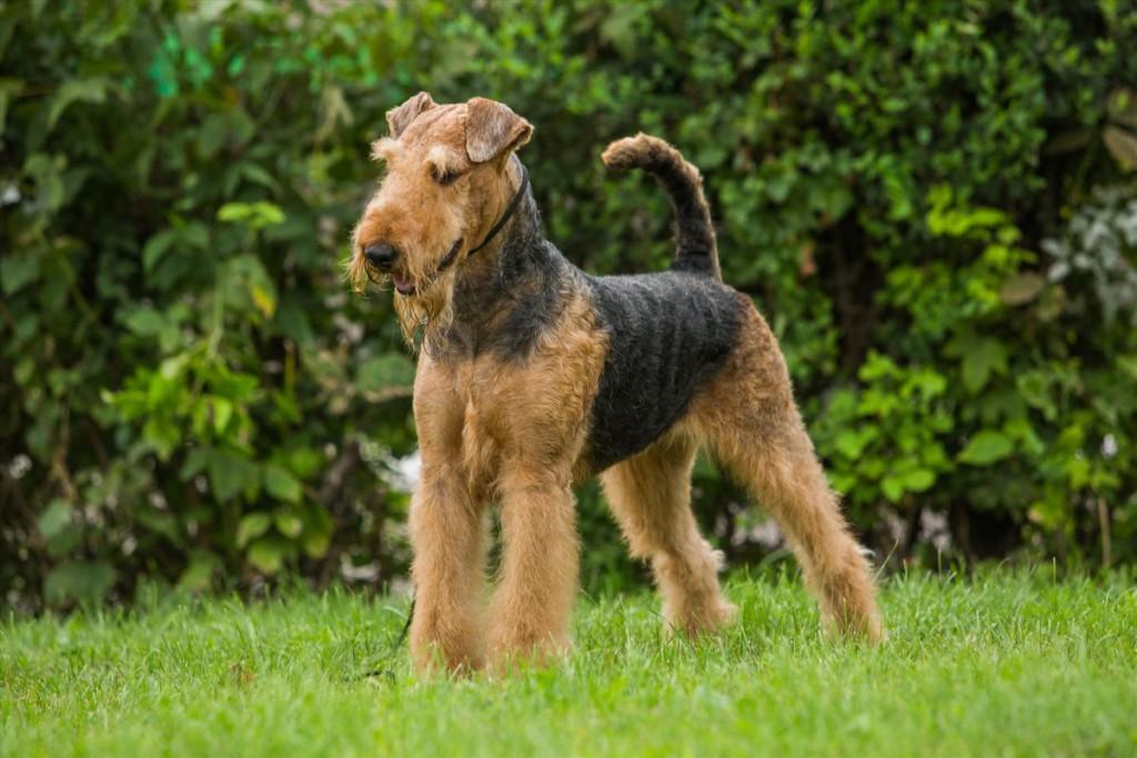 Описание породы собак эрдельтерьер с отзывами владельцев и фото