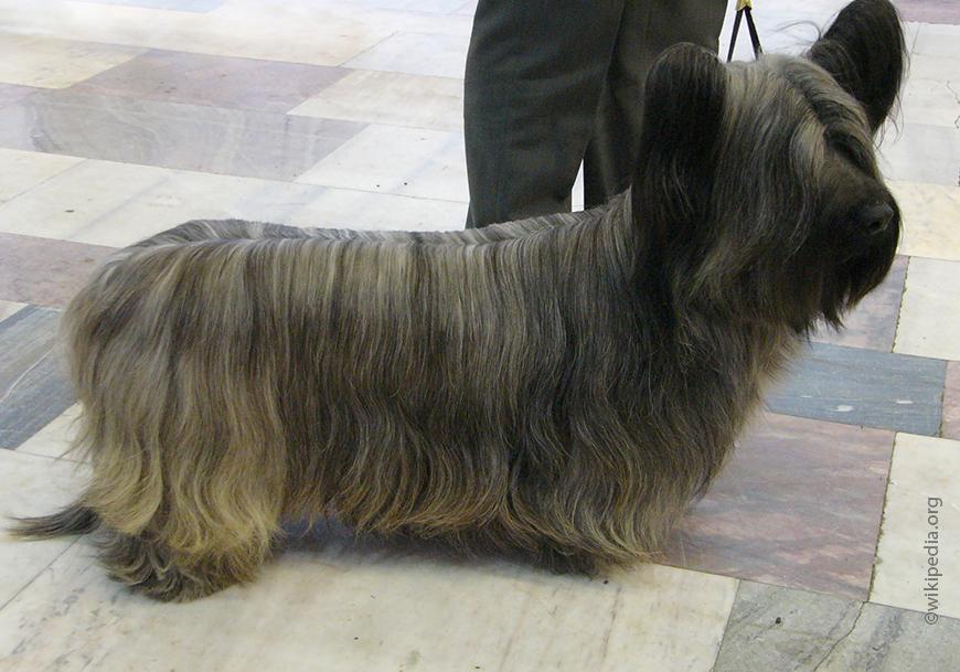 Скайтерьер (38 фото): описание породы. разновидности окрасов щенков. сколько лет живут собаки? особенности их характера