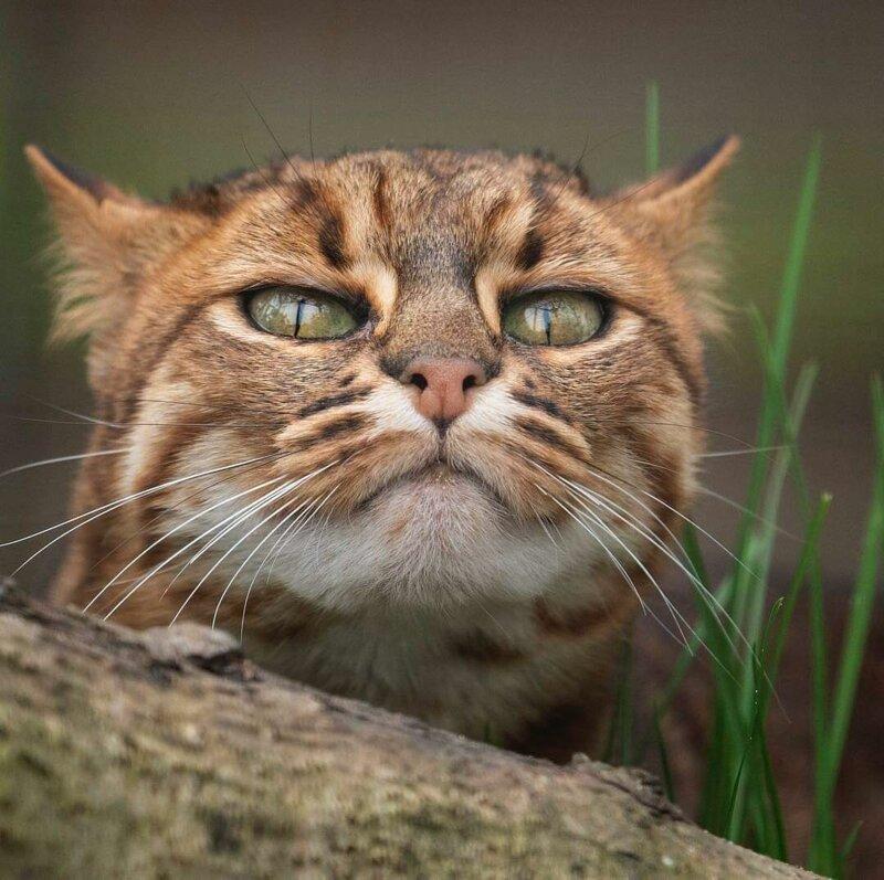 Самая маленькая дикая кошка в мире   фото и видео