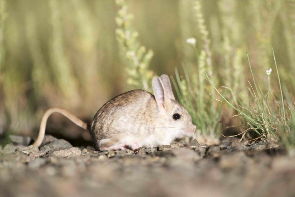 Где живут тушканчики в природе? :: syl.ru