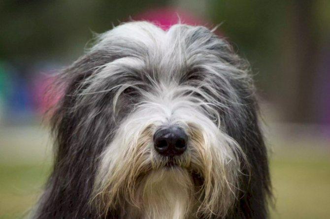 Бородатый колли (38 фото): описание породы собак «бородач», выращивание маленьких щенков