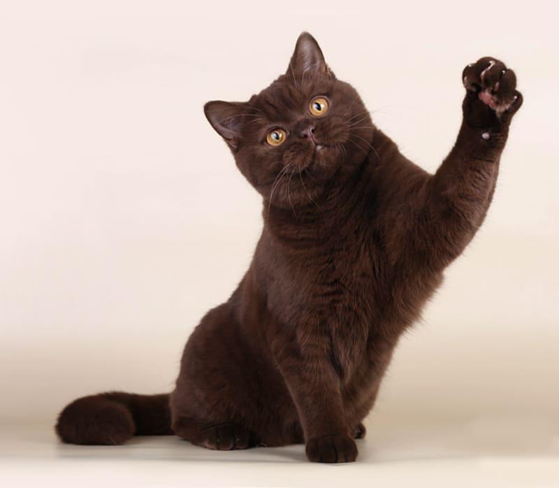 Чем примечательна йоркская шоколадная кошка - мир кошек