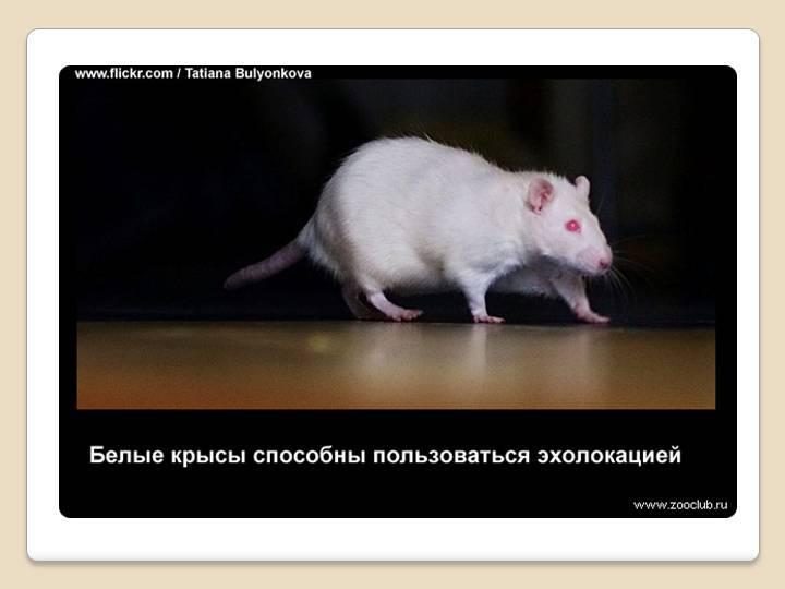 Болезни крыс и мышей: зоонозы, симптомы и лечениеветлечебница рос-вет