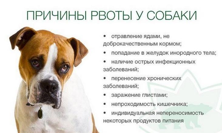 Срыгивание у собаки: стоит ли обращаться к ветеринару