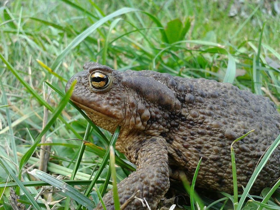 Серая жаба (bufo bufo) фото, описание биология размножение окрас среда обитания питается враги размер голос ареал поведение активность созревание популяция потомство, реферат земноводные доклад