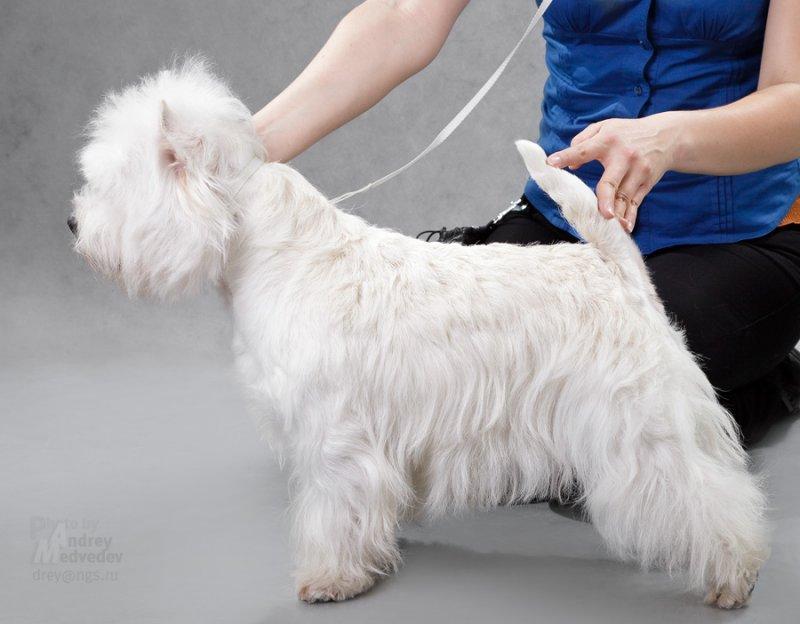 Собаки ? которые не линяют, список не линяющих гипоаллергенных пород собак с фотографиями и названиями, породы собак без подшерстка