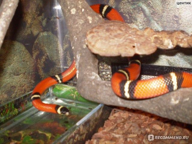 Описание, образ жизни и содержание молочной змеи в террариуме