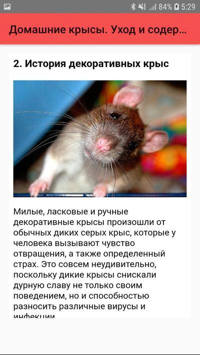 Как ухаживать за декоративными крысами – шпаргалка для хозяина