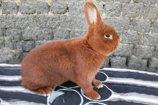 Новозеландские породы кроликов: подробное описание зверьков с белым и красным мехом