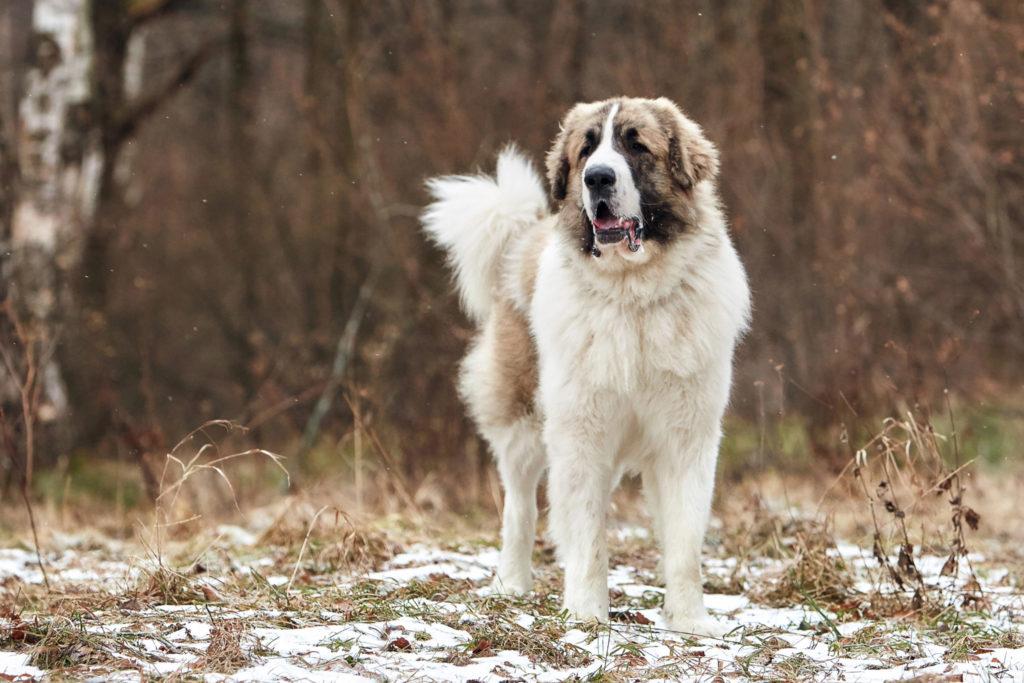 Собака тибетский мастиф: характер, описание породы, характеристика